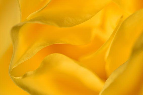 Detail gele roos liggend