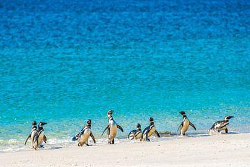 Magelhaen pinguins op strand van de Falkland eilanden van Ron van der Stappen