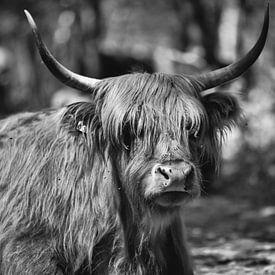 Schottischer Highlander in den Wäldern! von Peter Haastrecht, van