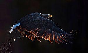 Vliegende  Zeearend (Haliaeetus albicilla)
