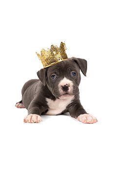 Een grijs witte Amerikaanse Bully of Buldog pup liggend met een gouden kroon op het hoofd tegen witt van Leoniek van der Vliet