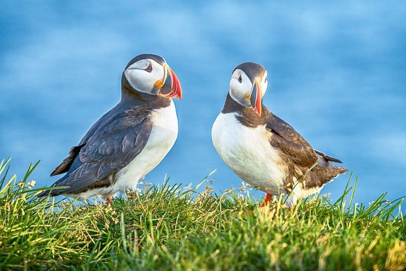 Puffin Duo van Jack Soffers