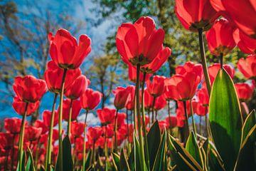 Veld roze tulpen van Stedom Fotografie
