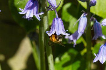 Lekker eten van de honing in de bloem van Dany Tiels