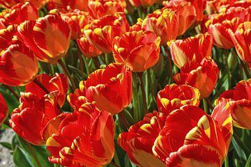 Tulpenfeld In Voorhout von VanderO Fotografie
