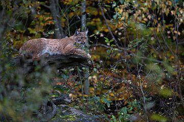 Luchs ( Lynx lynx ), ausgewachsenes Tier ruht versteckt auf einem Baum inmitten vom Herbstlaub. von wunderbare Erde