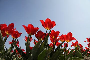 rode tulpen in een veld tegen blauwe lucht van Spijks PhotoGraphics