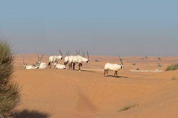 Groepje Oryxen in de woestijn van Ruth de Ruwe