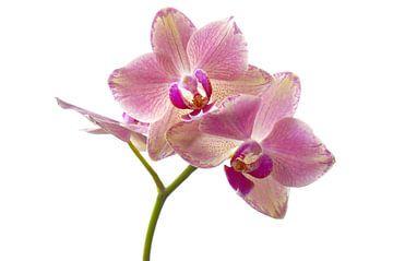 Orchidee  van Gera Wijlens