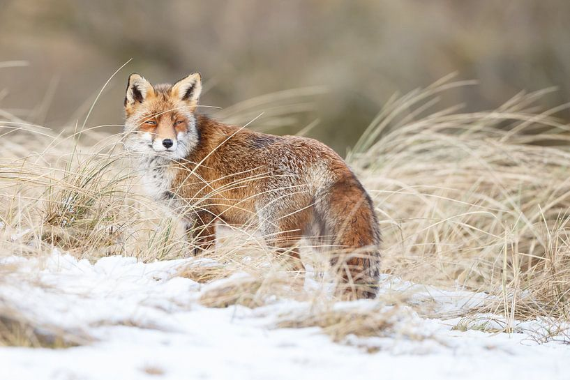 Een vos in de sneeuw van Menno Schaefer