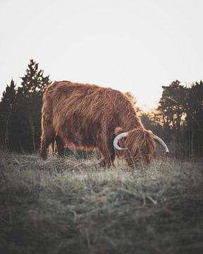 Schotse hooglander tijdens zonsondergang van Sander van Driel