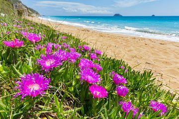 Mesembryanthemum rosa Blumen auf Küste mit Sandstrand und blaues Meer in Griechenland von Ben Schonewille
