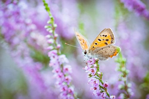Vrouwelijk heideblauwtje vlinder op paarse heide