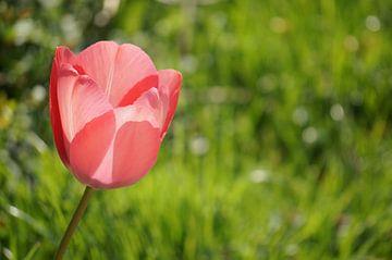 Roze tulp van Anne van de Beek