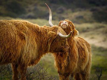 Schottischer Highlander mit Jugendlichen von Dirk van Egmond