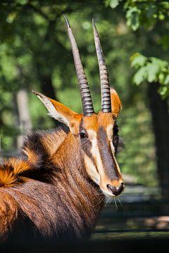 Wunderschönes afrikanisches Tier Rappenantilope. Portret-Kopf der Antilope mit großen Hörnern halb g von Michael Semenov