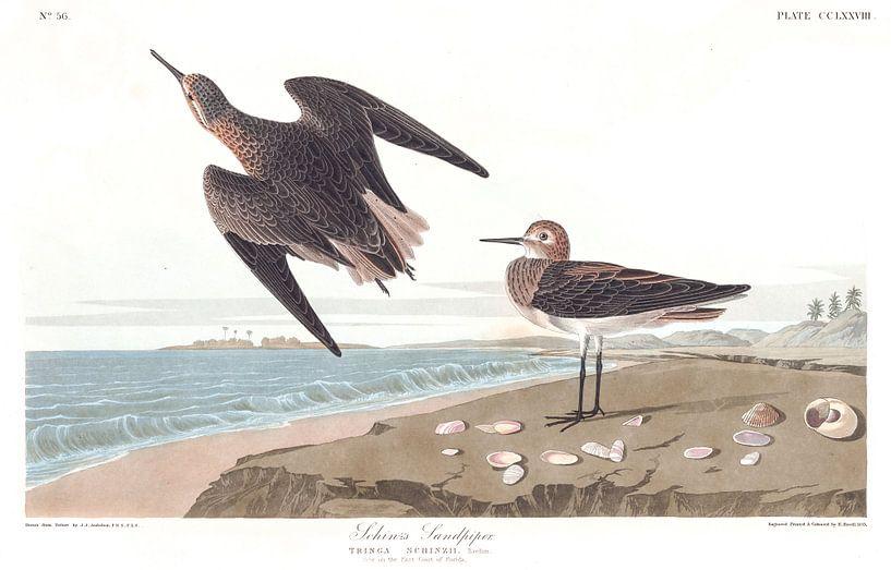 Weißbürzelstrandläufer von Birds of America