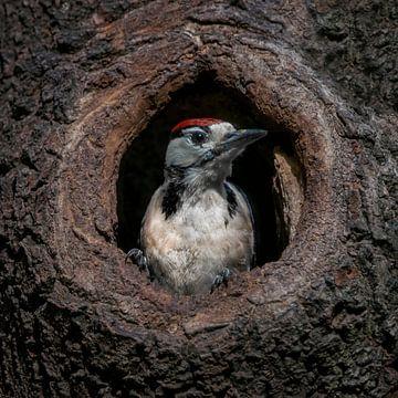Buntspecht in einem hohlen Baum von Albert Beukhof