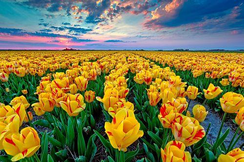 gele tulpen in bloei van