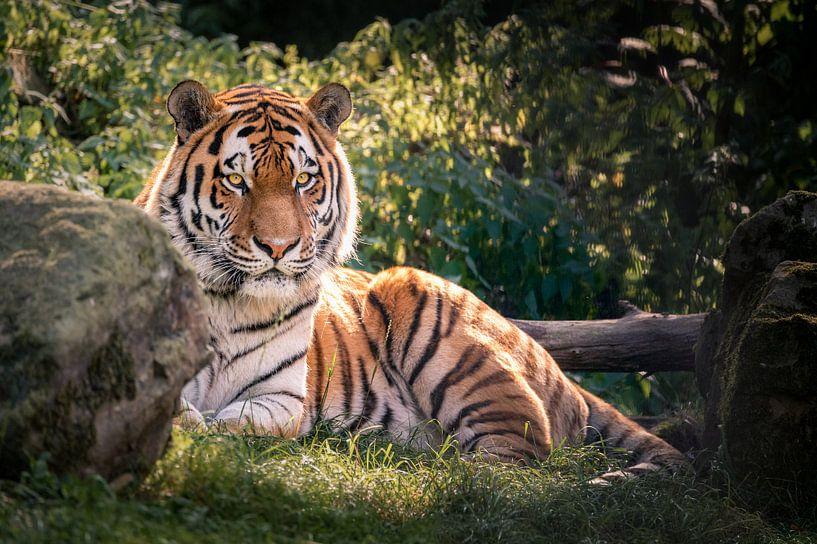 Tiger! von Mark Bonnenberg