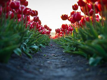 Passage de tulipes. sur