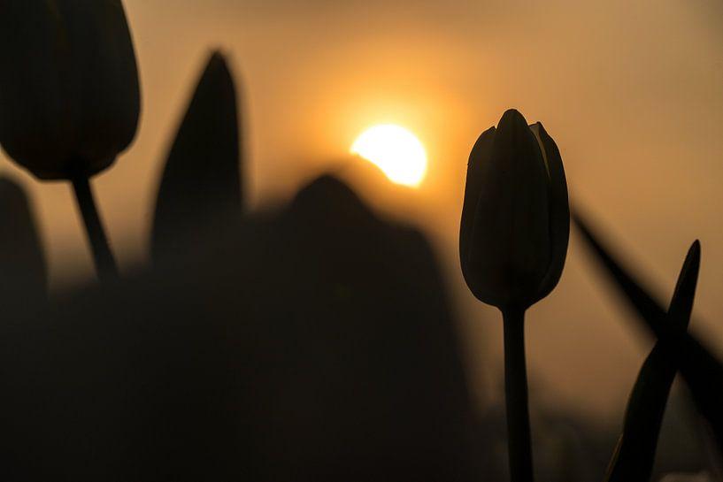 Silhouet van een tulp van Fotografiecor .nl