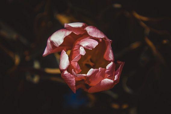 La tulipe solitaire