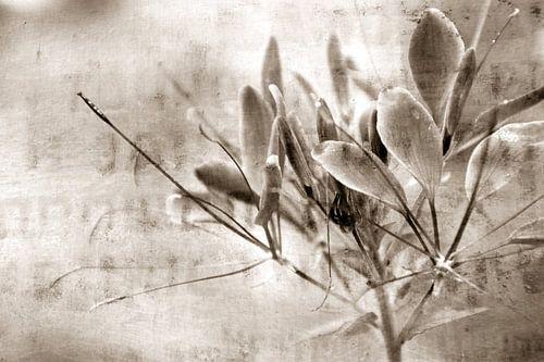 FLOWER - SEPIA