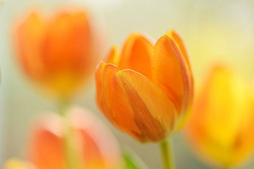 Geel oranje tulpen met vervaging