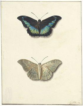 Ober- und Unteransicht eines Schmetterlings, Georgius Jacobus Johannes van Os
