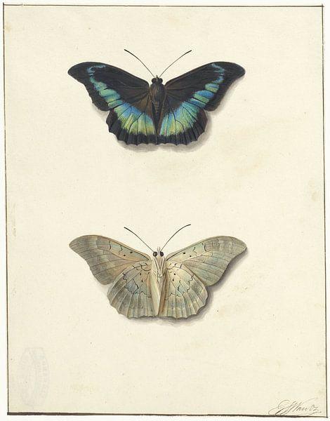 Vue supérieure et inférieure d'un papillon, Georgius Jacobus Johannes van Os sur Vintage en botanische Prenten