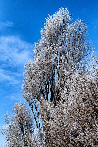 Besneeuwde boomtoppen: winter in Nederland. van