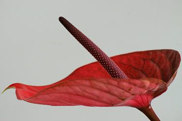 Flamingo-Pflanze von Niek Traas
