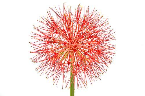 Poederkwast, Scadoxus multiflorus ssp. multiflorus van