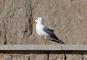 Zeemeeuw die zich op een muurtje tegen de rotsen koestert in de zon