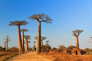Madagaskar Baobab dorp van Dennis van de Water