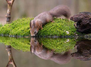 Drinkende Rode Eekhoorn van Marcel  Klootwijk