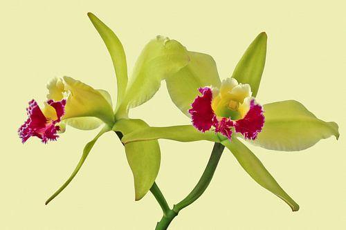 Orchidee - Cattleya Green Cherry von