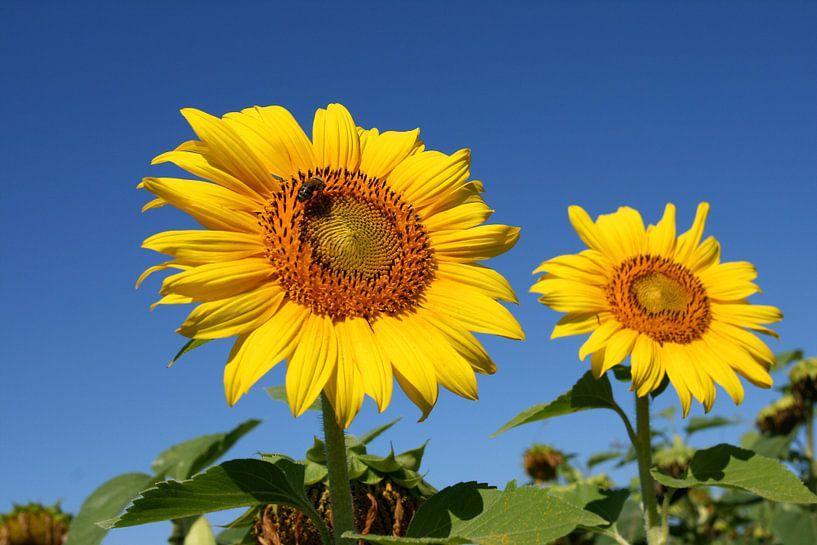 Zonnebloemen van Antwan Janssen