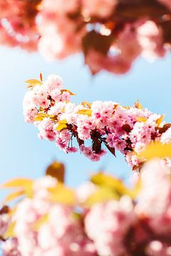 Roze bloesem van Veri Gutte
