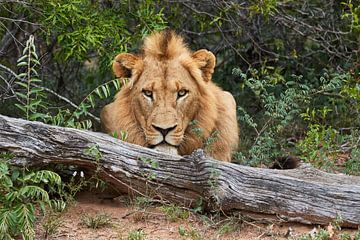 Großer Löwe hinter einem Baumstamm von Jolene van den Berg
