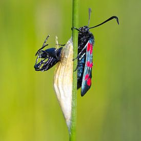 Cinnabar moth sur Menno Schaefer