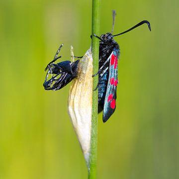 Cinnabar moth von Menno Schaefer