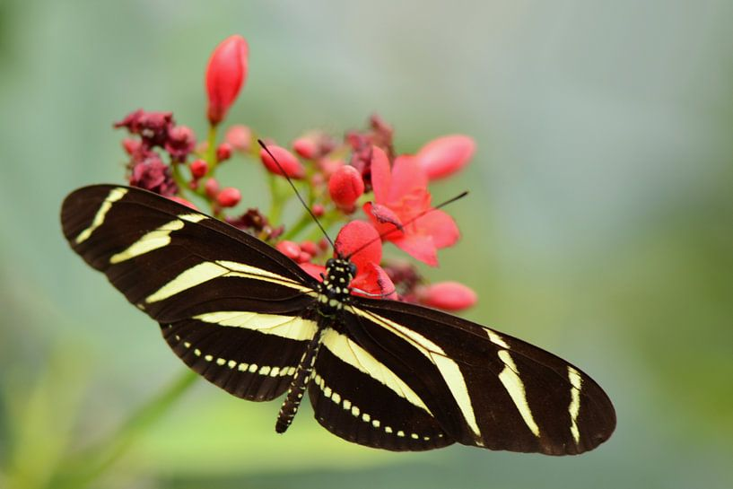 Zwart gele vlinder van Rene Mensen