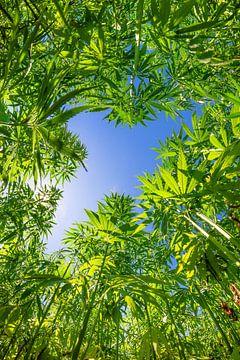Cannabisplanzen aus der Froschperspektive von Günter Albers