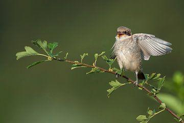 Neuntoeter ( Lanius collurio ), flügger Jungvogel bettelt um Futter, lustiges Bild, wildlife, Europa von wunderbare Erde