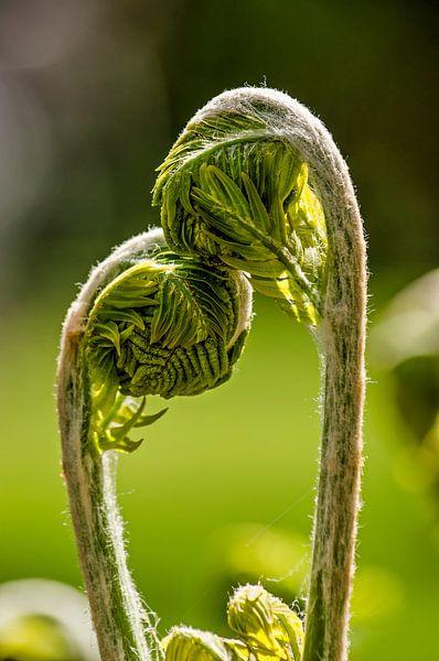 Young ferns in love van Frans Blok