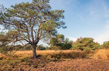 Schottische Kiefer im Vordergrund eines niederländischen Naturreservats im Herbst von Ruud Morijn