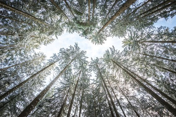 looking up in the forest van Hannes Cmarits