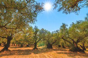 Olijfbomen Zakynthos